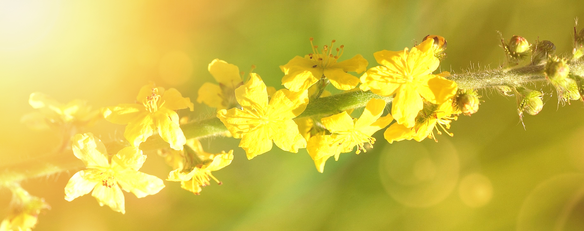 Agrimony Odermennig Nr 1 Extreme Beeinflussbarkeit Lemon Pharma Original Bachblüten