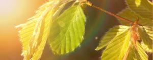 Beech Rotbuche Nr 3 Überbordende Sorge um andere Lemon Pharma Original Bachblüten