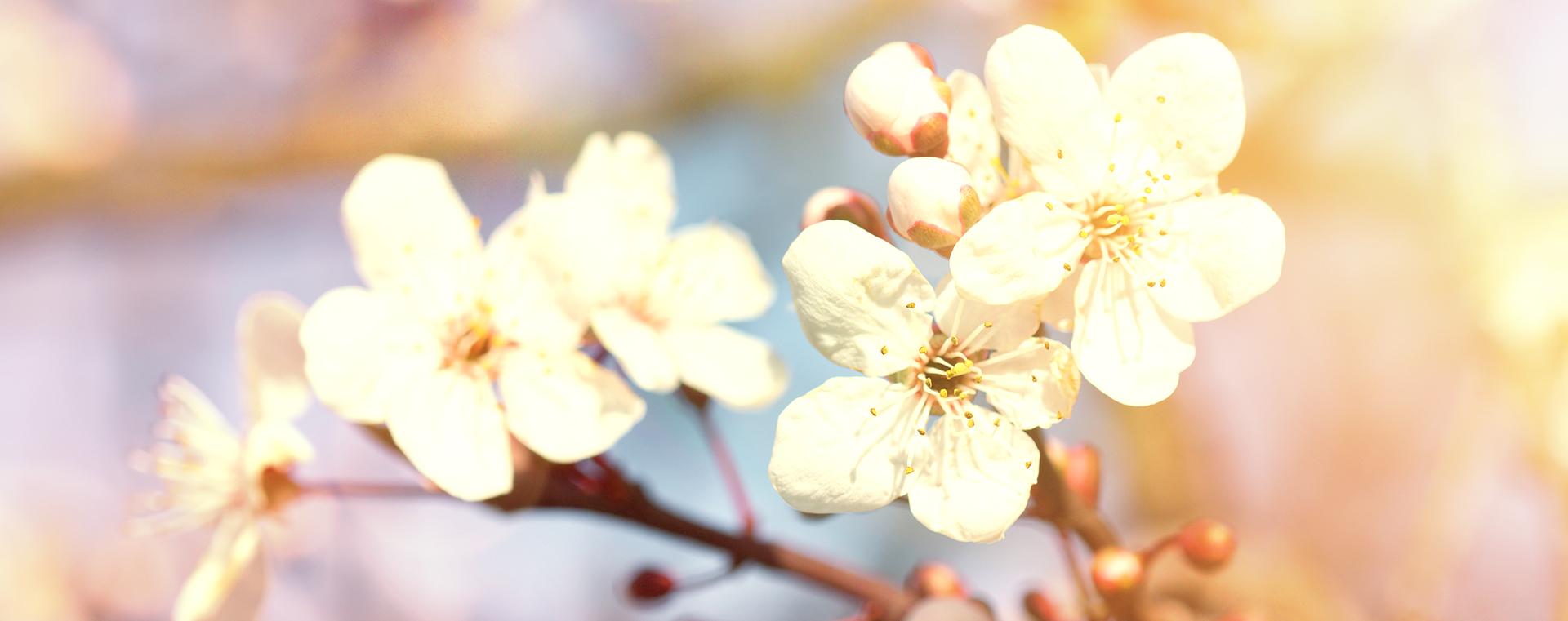 Cherry Plum Kirschpflaume Angst und Sorge Lemon Pharma Original Bachblüten