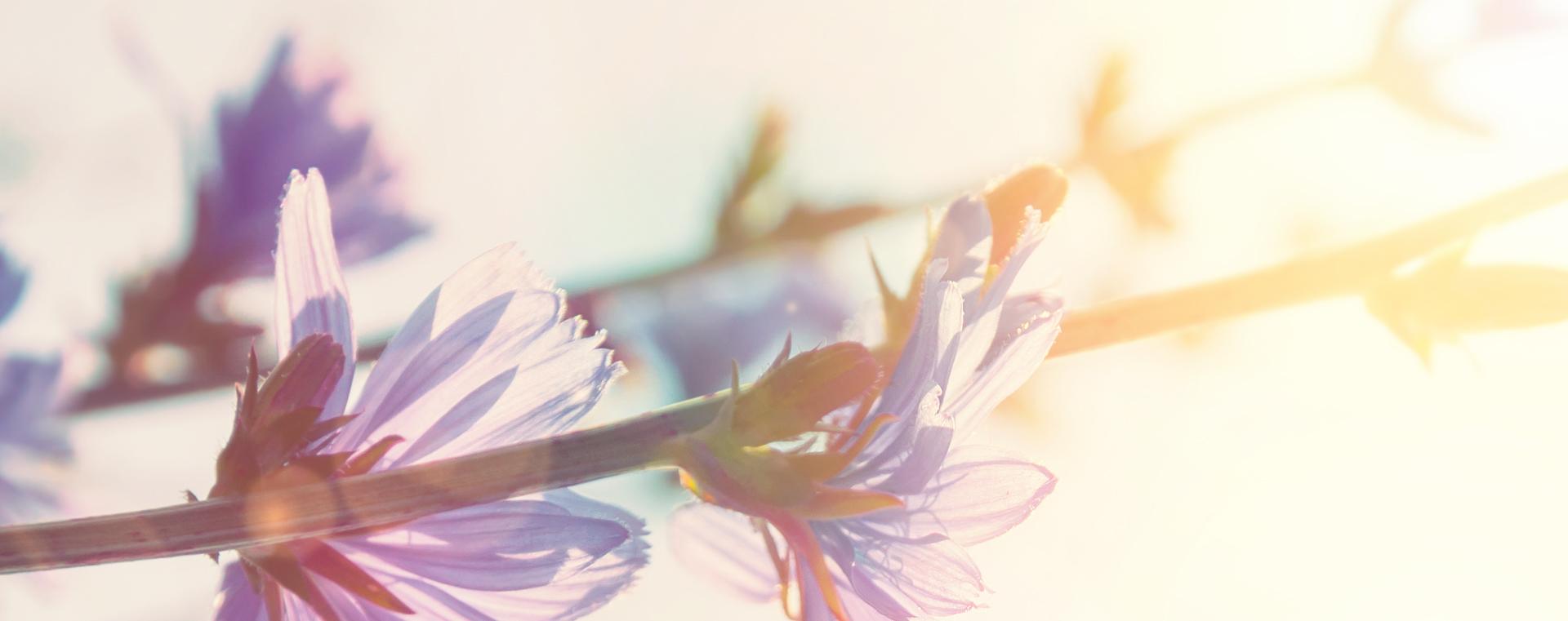 Chicory Wegwarte Überbordende Sorge um Andere Lemon Pharma Original Bachblüten