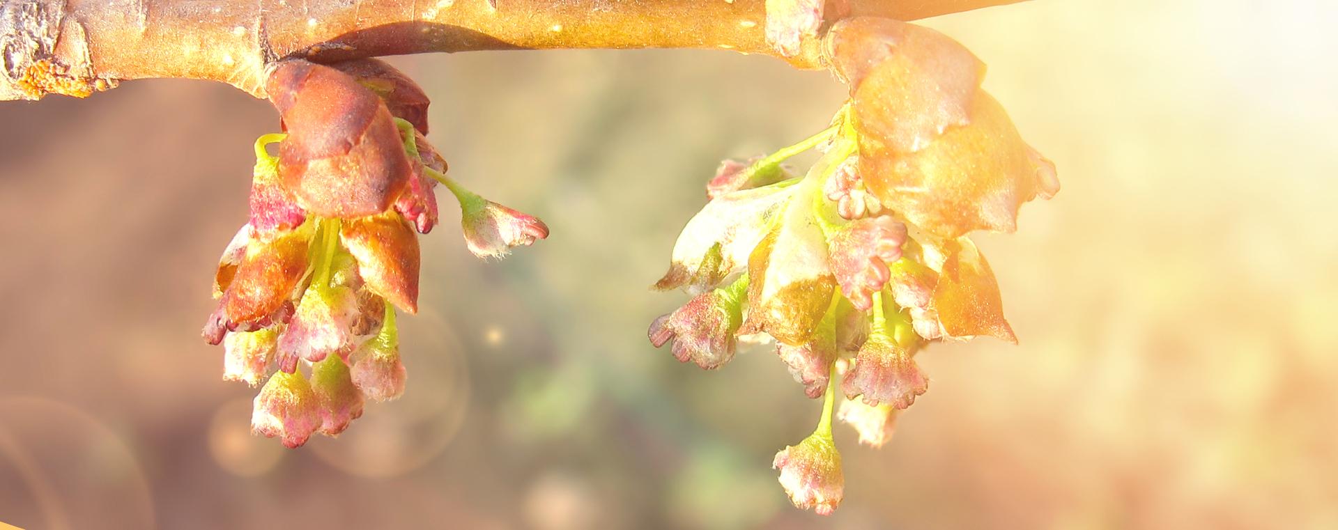 Elm Ulme Verzagtheit und Verzweiflung Lemon Pharma Original Bachblüten
