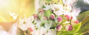 Holly Stechpalme Extreme Beeinflussbarkeit Lemon Pharma Original Bachblüten