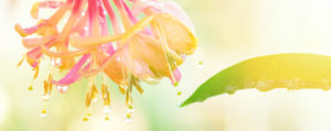 Honeysuckle Geissblatt Desinteresse an der Gegenwart Lemon Pharma Original Bachblüten