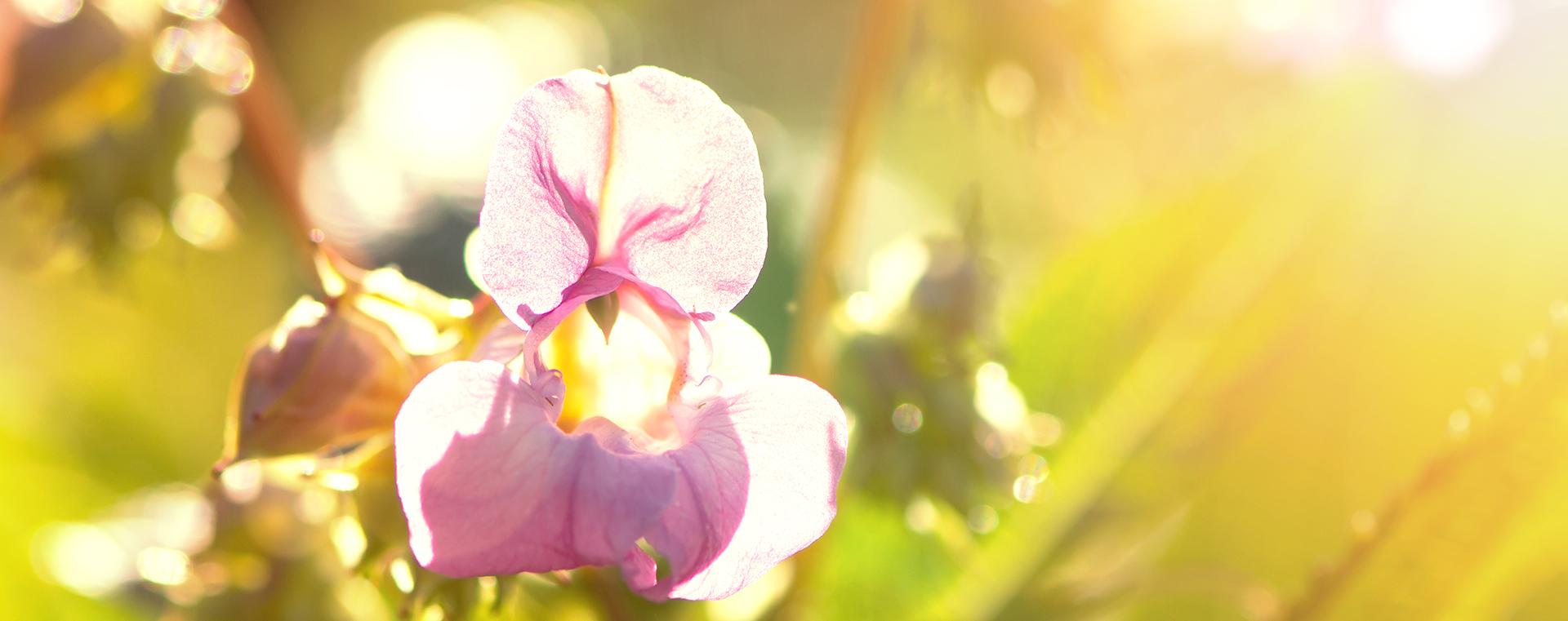 Impatiens Springkraut Einsamkeit Lemon Pharma Original Bachblüten