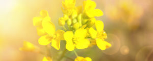 Mustard Wilder Senf Desinteresse an der Gegenwart Lemon Pharma Original Bachblüten