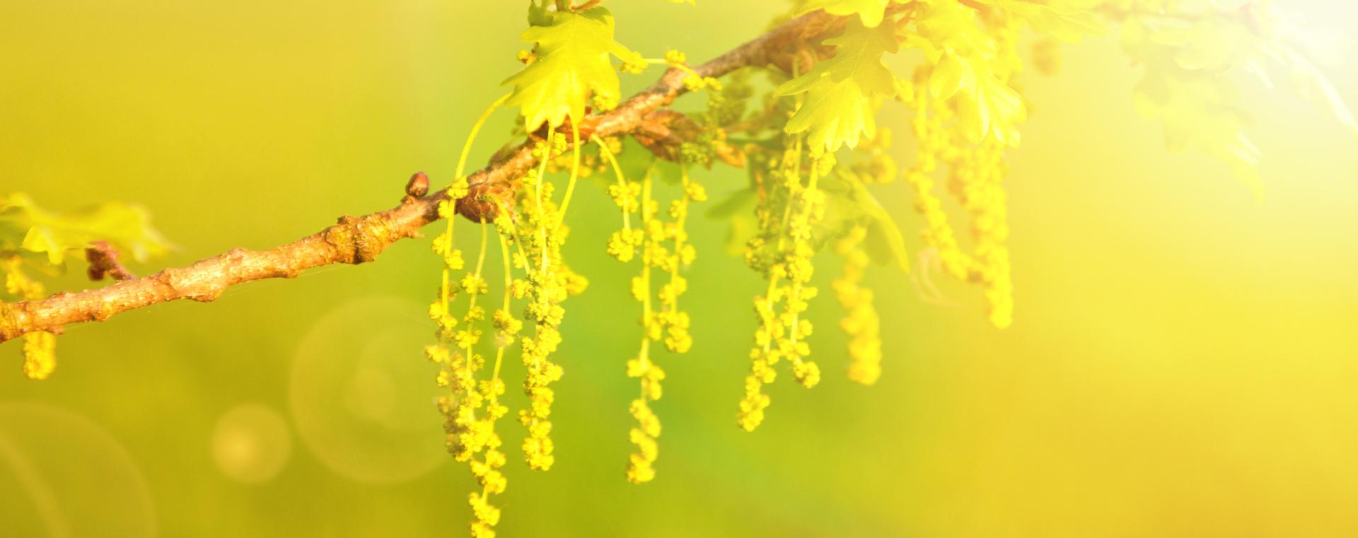 Oak Eiche Verzagtheit und Verzweiflung Lemon Pharma Original Bachblüten