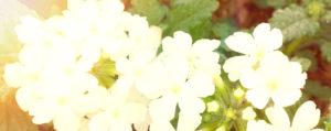 Vervain Eisenkraut Überbordende Sorge um Andere Lemon Pharma Original Bachblüten