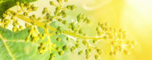 Vine Weinrebe Überbordende Sorge um Andere Lemon Pharma Original Bachblüten