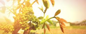 Walnut Walnuss Extreme Beeinflussbarkeit Lemon Pharma Original Bachblüten