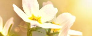Water Violet Sumpfwasserfeder Einsamkeit Lemon Pharma Original Bachblüten