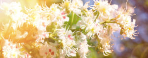 White Chestnut Weiße Kastanie Desinteresse an der Gegenwart Lemon Pharma Original Bachblüten