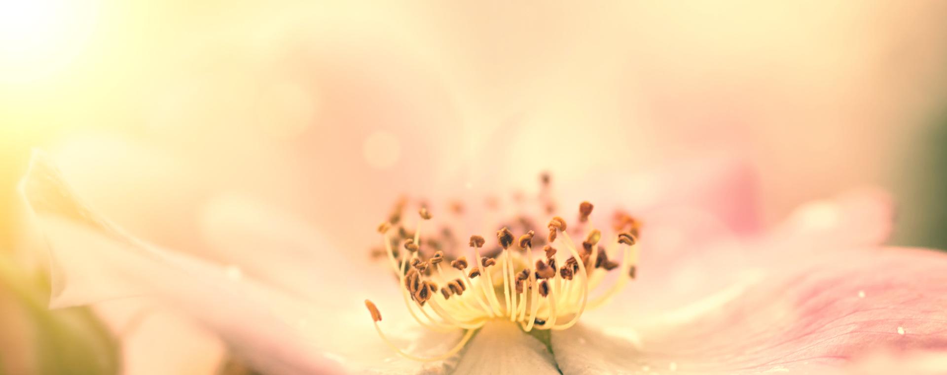 Wild Rose Heckenrose Desinteresse an der Gegenwart Lemon Pharma Original Bachblüten