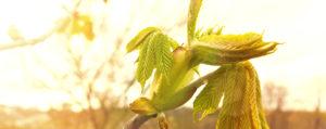 Chestnut Bud Knospe der Rosskastanie Desinteresse an der Gegenwart Lemon Pharma Original Bachblüten